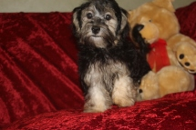 Sammy Male CKC Havanese $1750 Speical $1250 Puppy vaccine & Rabies COMPLETED SOLD MY NEW HOME PENSACOLA, FL NOW 6.5 Lbs 20 wks Old