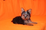 Kit Kat Female T-CUP CKC Yorkie $2000 PUPPY SPECIAL $1500 WITH ALL VACCINES INCLUDING RABIES Ready 7/25 SOLD MY NEW HOME JACKSONVILLE, FL 2.10 LBS 15W3D old