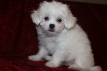 Lala Female CKC Havashu $1750 Ready 9/26 SOLD MY NEW HOME JACKSONVILLE, FL 2.8 lbs 9 wks old