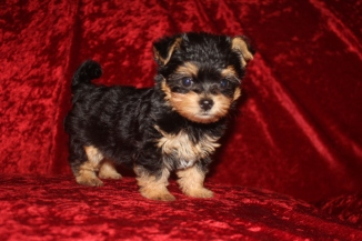 Pickles Female CKC Havashire $1750 Ready 10/6 SOLD MY NEW HOME YULEE, FL 1.4 LBS 7W3D Old