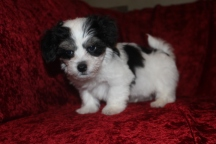 Scampi Male CKC Havanese $1750 Ready 9/27 SOLD MY NEW HOME JACKSONVILLE, FL 2.12 LBS 8W5D Old