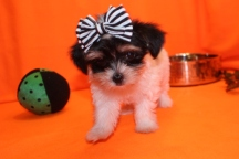 Lucy Female CKC Havashire $1750 Ready 9/8 AVAILABLE 1.10 lbs 8W6D Old