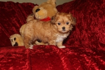 Mandy Female CKC Shihpoo $1750 READY 10/6 SOLD MY NEW HOME LONGWOOD, FL 2.4 LBS 7W3D Old