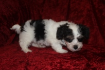 Scampi Male CKC Havanese $1750 Ready 9/27 SOLD MY NEW HOME BLUFFTON,SC 2.12 LBS 8W5D Old