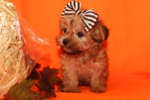 Athena Female CKC Shorkie $1750 Ready 9/19 sold my new home Orange Park, FL 1.7 lbs 7W1D