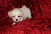 Dumplin Female CKC Havanese $1750 Ready 9/27SOLD MY NEW HOME JACKSONVILLE, FL 2.1 LBS 8W5D 0LD