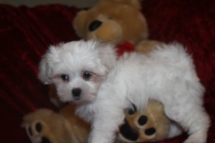 Lulu Female CKC Havashu $1750 Ready 9/26 SOLD MY NEW HOME JACKSONVILLE, FL 2.13 lbs 9 wks old