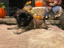 Ruby Female CKC Malshipoo $1750 Ready 11/18 SOLD MY NEW HOME JACKSONVILLE, FL 2 Lbs 4W4D old