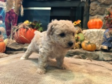 Auggie Male CKC Mini Labradoodle $1750 Ready 11/12 HAS DEPOSIT MY NEW HOME JACKSONVILLE, FL 1.14 lbs 5W3D