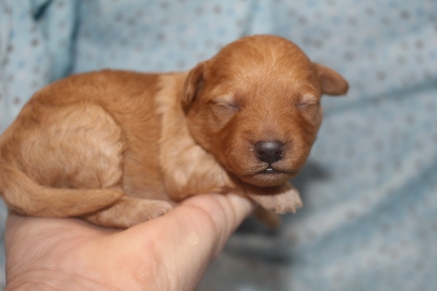 Dory Female CKC Morkipoo $1750 Ready 11/20 AVAILABLE 14.7 oz 8 days old