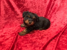 Duke Male CKC Morkie $1750 Ready 11/25 SOLD MY NEW ORLANDO, FL 2.3 Lbs 5W3D Old