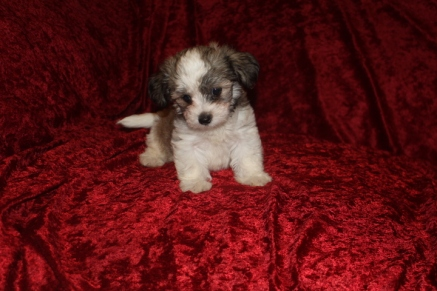 Gracie Female CKC Havanese $1750 Ready 9/13 AVAILABLE 2.8 Lbs 6W4D Old