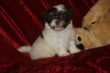Gucci Bear Male CKC Havanese $1750 Ready 9/13 AVAILABLE 2.8 Lbs 6W4D Old
