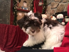 Gucci Bear Male CKC Havanese $1750 BUT WAIT PUPPY SPECIAL $1500 Has all his vaccines including Rabies Ready 9/13 SOLD MY NEW HOME CASSELBERRY, FL 4 Lbs 12 Weeks Old