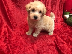 Marlin Male CKC Morkipoo $1750 Ready 11/20 SOLD MY NEW HOME TAMPA, FL 2.15 Lbs 6W2D