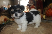 Mr Giggles Male CKC Havanese $1750 Ready 9/13 SOLD MY NEW HOME JACKSONVILLE, FL 3.2 Lbs 9W4D Old