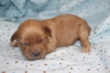 Nemo Male CKC Morkipoo $1750 Ready 11/20 AVAILABLE 13.6 oz 8 days old