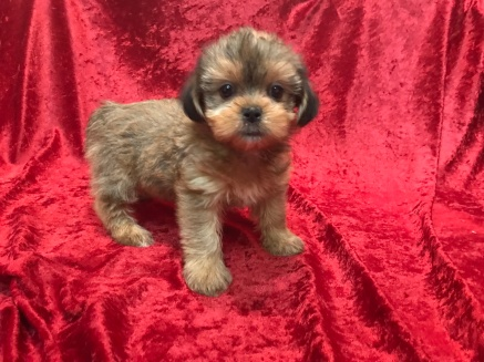 Sabrina Female CKC Shorkipoo $1750 Ready 11/17 SOLD MY NEW HOME SPARTANBURG, GA 2.10 LBS 6W5D Old