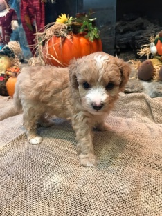 Scout Male CKC Mini Labradoodle $2000 READY 11/17 HAS DEPOSIT MY NEW HOME LAKELAND, FL 1.10 Lbs 4W5D old