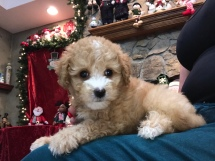 Scout Male CKC Mini Labradoodle $2000 READY 11/17 SOLDMY NEW HOME NICEVILLE, FL 2.4 Lbs 6W6D old