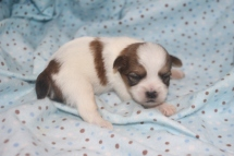 Snuggles Male CKC Shorkipoo $1750 Ready 11/17 AVAILABLE 9.7 OZ 11 Days old