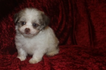 Gabriel Male CKC Havanese $1750 Ready 10/12 AVAILABLE 1.11 Lbs 6W4D Old