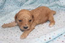 Axel Male CKC Mini Labradoodle $2000 Ready 11/12 AVAILABLE 14.6 oz 2W2D