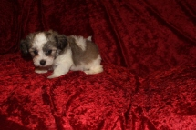 Gracie Female CKC Havanese $1750 Ready 9/13 SOLD MY NEW HOME ST AUGUSTINE, FL 2.8 Lbs 6W4D Old