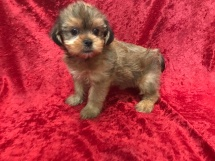 Sabrina Female CKC Shorkipoo $1750 Ready 11/17 HAS DEPOSIT MY NEW HOME SPARTANBURG, GA 2.10 LBS 6W5D Old
