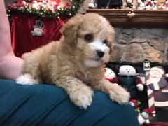 Scout Male CKC Mini Labradoodle $2000 READY 11/17 HAS DEPOSIT MY NEW HOME NICEVILLE, FL 2.4 Lbs 6W6D old