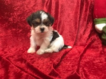SCRUFFY Male CKC Shorkipoo $1750 Ready 11/17 SOLD MY NEW HOME SARASOTA, FL 2.13 LBS 6W5D Old