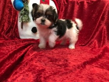 Sheba Female CKC Shorkipoo $1750 Ready 11/17 SOLD MY NEW HOME NEWNAN, GA 2.6 LBS 6W4D Old