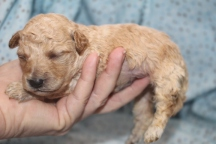 Suly Male CKC Mini Labradoodle $1750 READY 11/17 HAS DEPOSIT MY NEW HOME JACKSONVILLE, FL 13 oz 11 days old