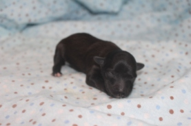 Dawg Male CKC Morkie $1750 Ready 12/11 AVAILABLE 5.6 OZ 2 DAYS OLD
