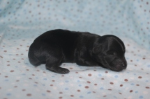 Einstein Male CKC T-Cup Yorkipoo $1750 Ready 11/25 AVAILABLE 4.8 oz 1 Day Old