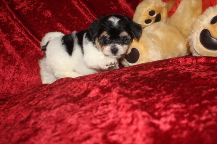 Mr Giggles Male CKC Havanese $1750 Ready 9/13 AVAILABLE 2.8 Lbs 6W4D Old