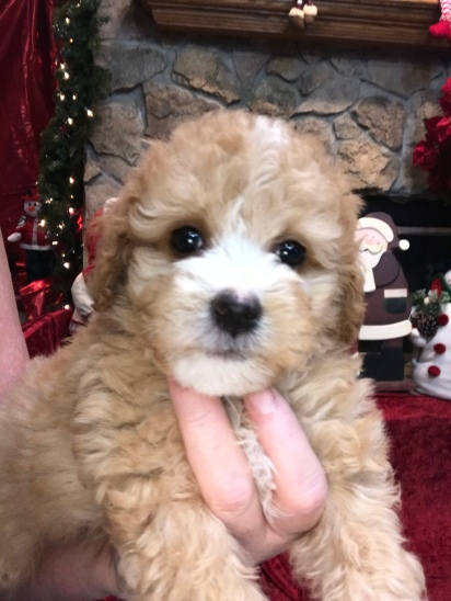 Scout Male CKC Mini Labradoodle $2000 READY 11/17 SOLD MY NEW HOME NICEVILLE, FL 2.4 Lbs 6W6D old