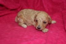 Amber Female CKC Mini Labradoodle $1750 Ready 11/12 HAS DEPOSIT MY NEW HOME NJ 14 OZ 2W2D