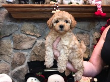 Dory Female CKC Morkipoo $1750 Ready 11/20 SOLD MY NEW HOME HUDSON, MA 2.8 Lbs 6W2D