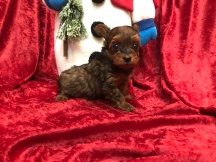 Marty Male CKC T-Cup Yorkipoo $1750 Ready 11/25 SOLD MY NEW HOME LONG BEACH, NY 1.3 Lbs 5W5D