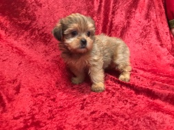 Sadie Female CKC Shorkipoo $1750 Ready 11/17 SOLD MY NEW HOME SANFORD, FL 1.7 LBS 4W5D Old