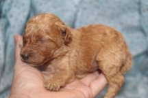 Snookums Male CKC Mini Labradoodle $2000 READY 11/17 AVAILABLE 11.3 oz 11 days old