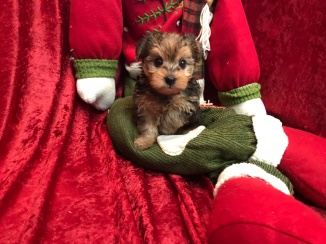 DeeDee Female CKC Morkie $1750 Ready 11/25 SOLD 2.2 Lbs 5W3D Old