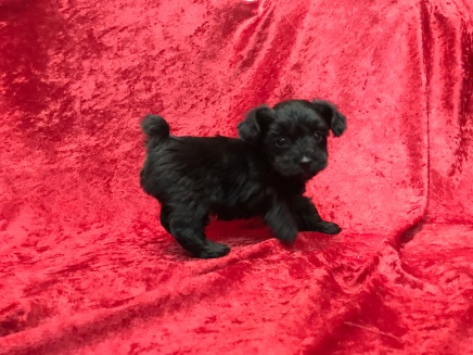 Einstein Male CKC T-Cup Yorkipoo $1750 Ready 11/25 HAS DEPOSIT SOLD MY NEW HOME PALM HARBOR, FL 1.5 Lbs 5W5D
