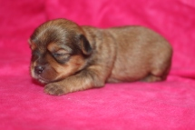 Sadie Female CKC Shorkipoo $1750 Ready 11/17 AVAILABLE 10.8 OZ 11 Days old