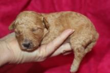 Smouchie Female CKC Mini Labradoodle $2000 READY 11/17 AVAILABLE 13.3 oz 11 days old