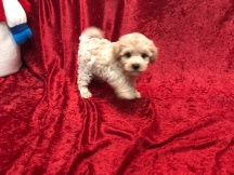 Squirt Male CKC Morkipoo $1750 Ready 11/20 SOLD MY NEW HOME ST AUGUSTINE, FL 2.2 Lbs 6W2D