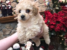 SULY Male CKC Mini Labradoodle $1750 READY 11/17 SOLD MY NEW HOME JACKSONVILLE, FL 2.1 Lbs 6W6D old