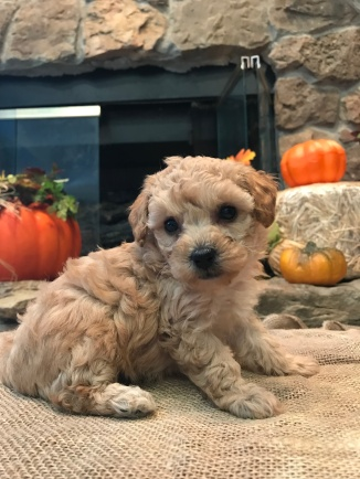 Amber Female CKC Mini Labradoodle $1750 Ready 11/12 HAS DEPOSIT MY NEW HOME NY 1.14 lbs z5W3D