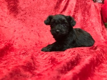 Einstein Male CKC T-Cup Yorkipoo $1750 Ready 11/25 HAS DEPOSIT MY NEW HOME PALM HARBOR, FL 1.5 Lbs 5W5D